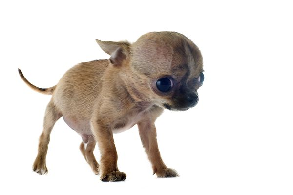 Chihuahua puppy with hydrocephalus