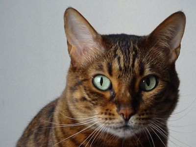 Bengal Cat - Full Profile, History, and Care