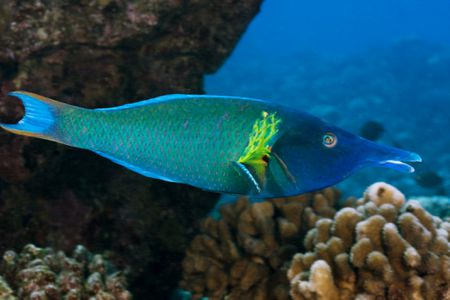 Bird Wrasse Fish Breed Profile