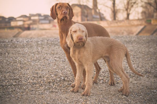 Wirehaired Vizsla mother and pup
