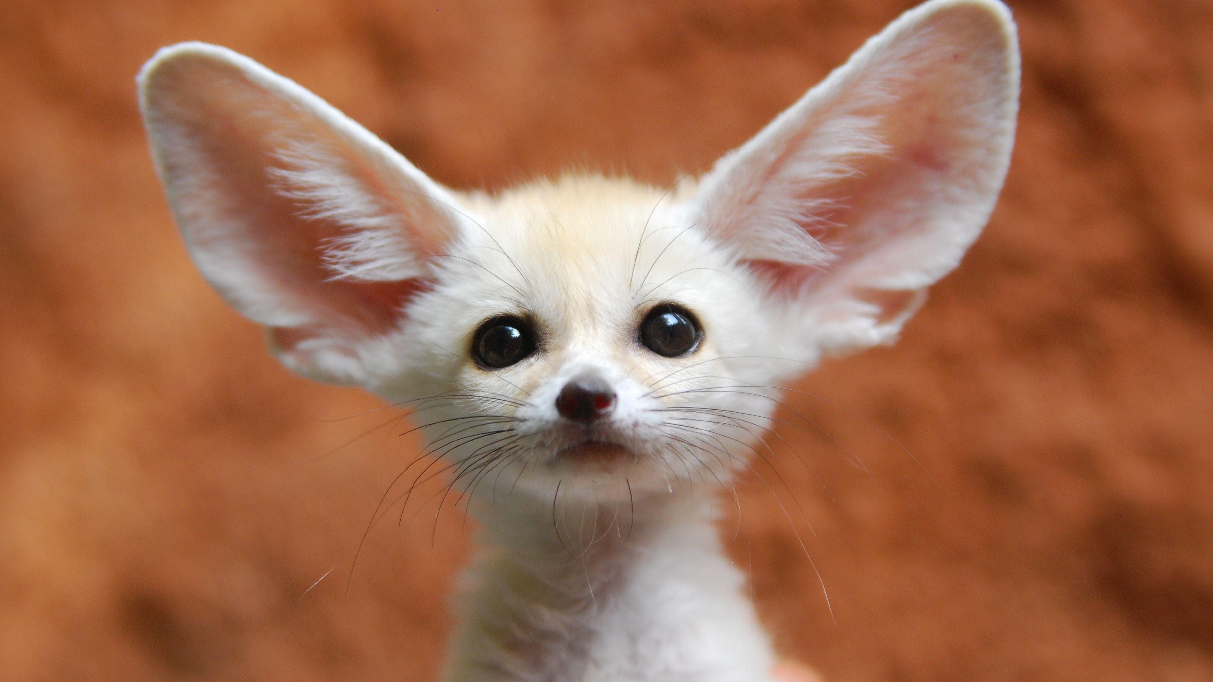 fennec-fox-85120553-57ffe0d85f9b5805c2b03554.jpg