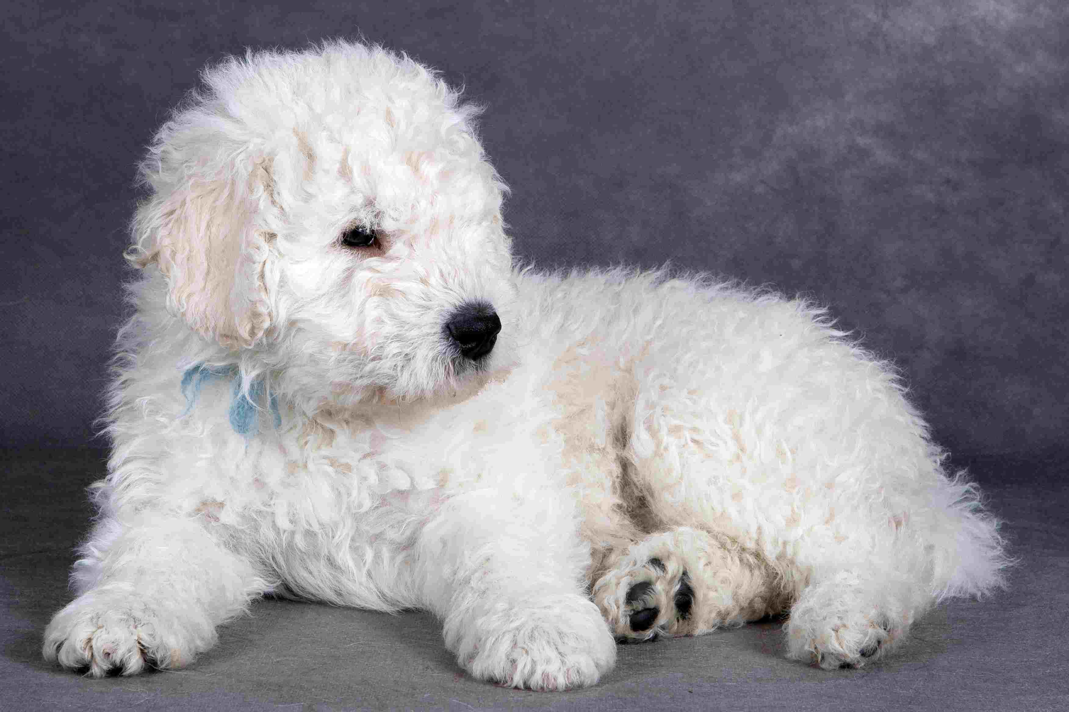 White Komondor puppy.
