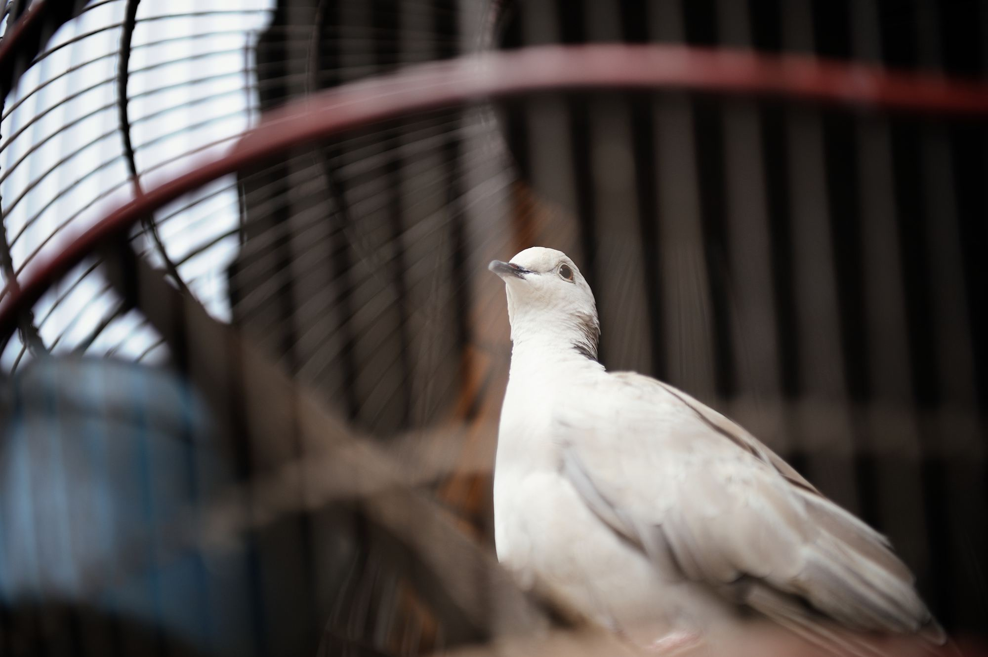 Dove in a cage