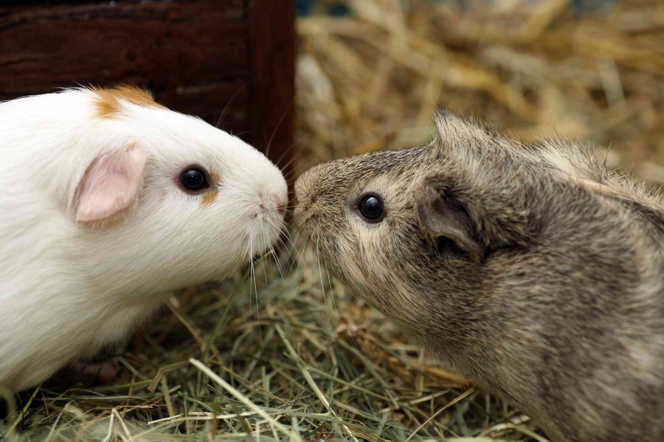 Guinea pigs touching noses