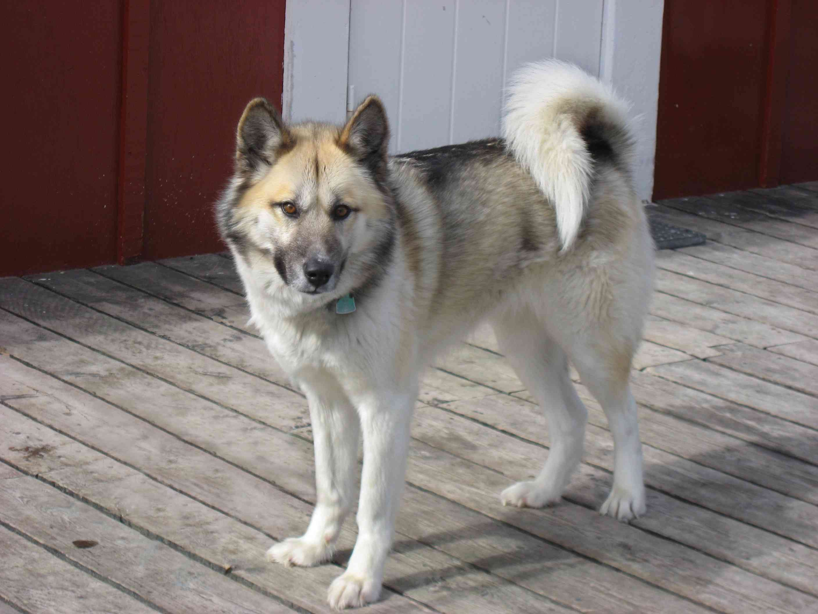 Greenland dog standing outside