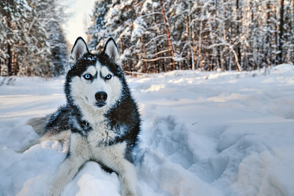 Husky dog lying in the snow