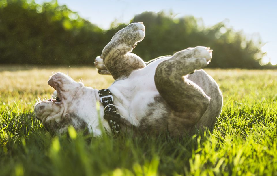 Bulldog puppy rolling on back in a field of grass.