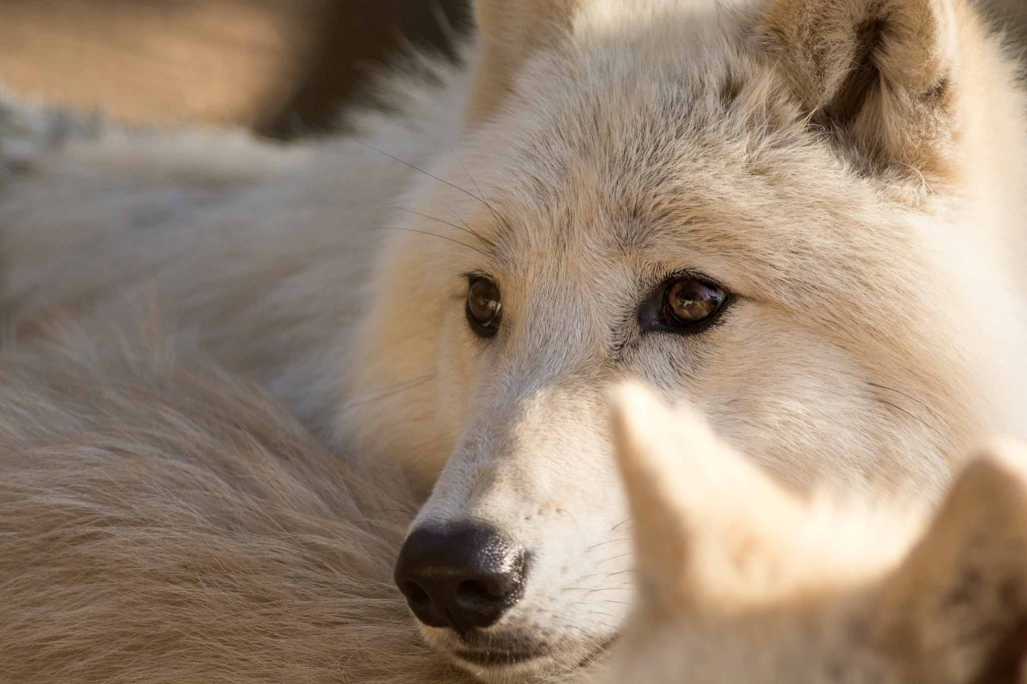 A close-up of a white wolf dog
