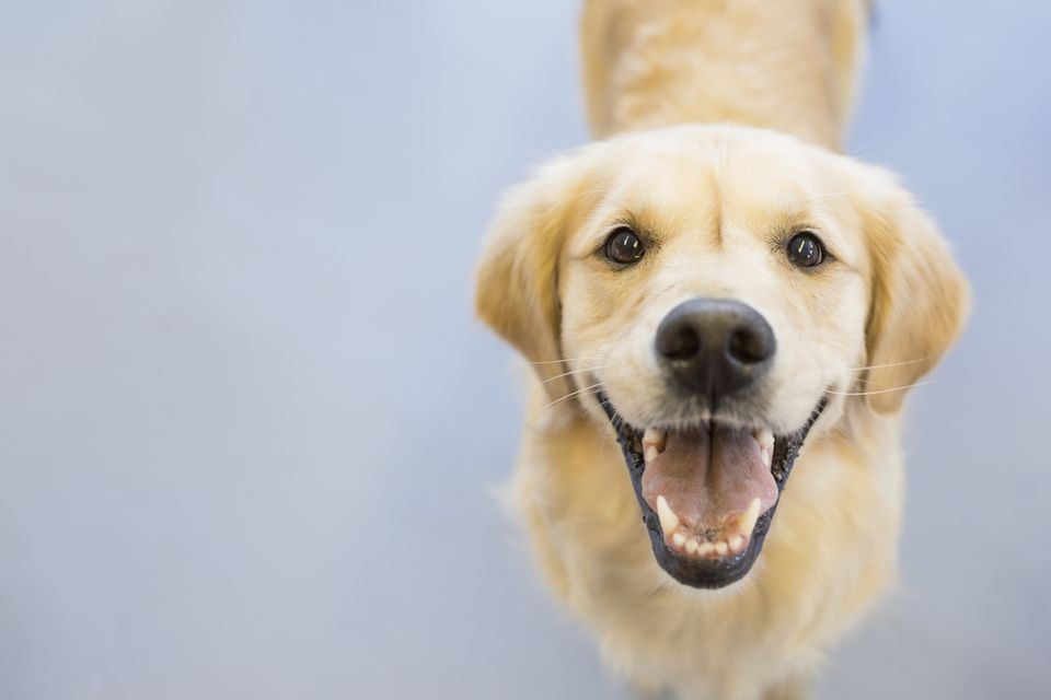 Golden retriever looking up at camera and smiling