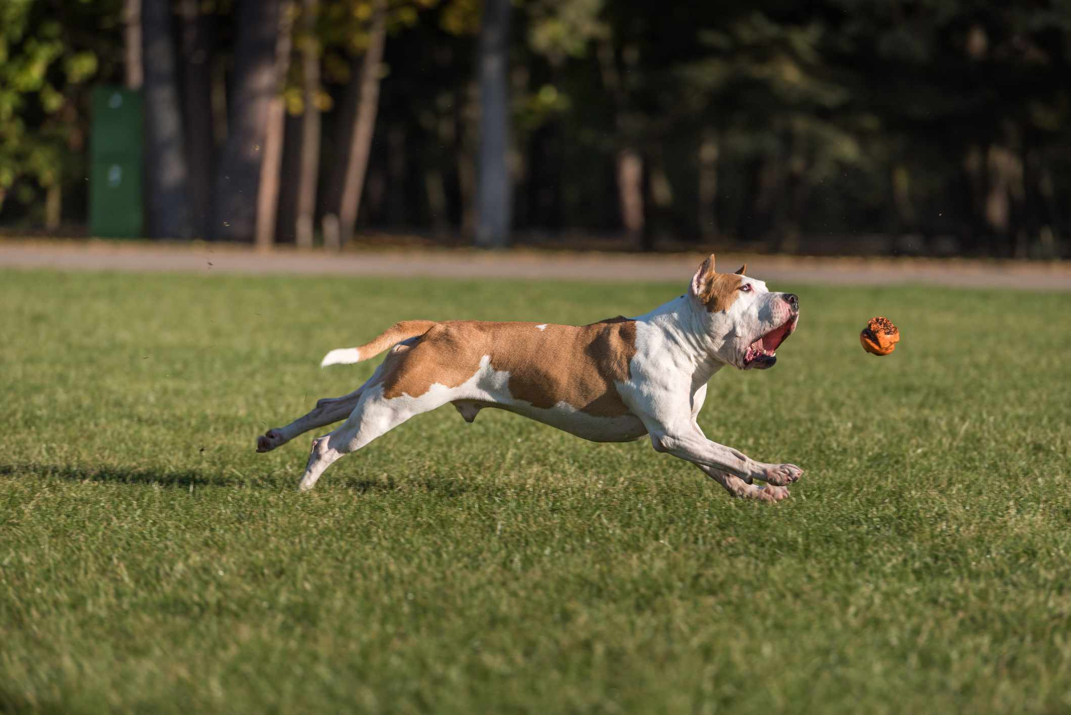 American bulldog running outside