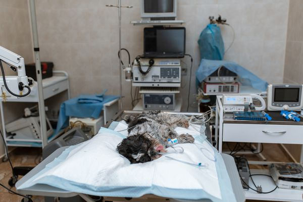 Dog prepped for surgery