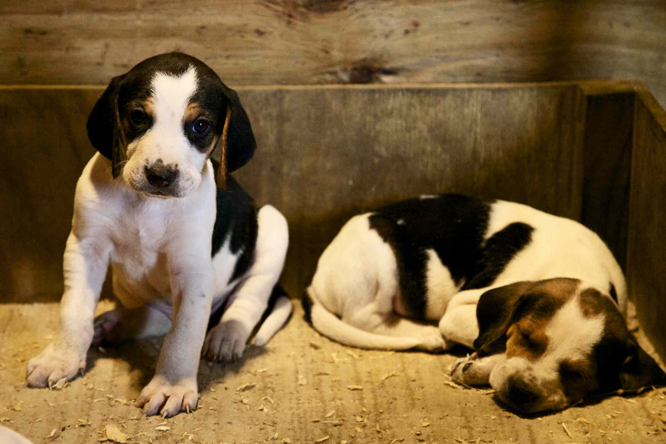 Two American Foxhound puppies in wooden box