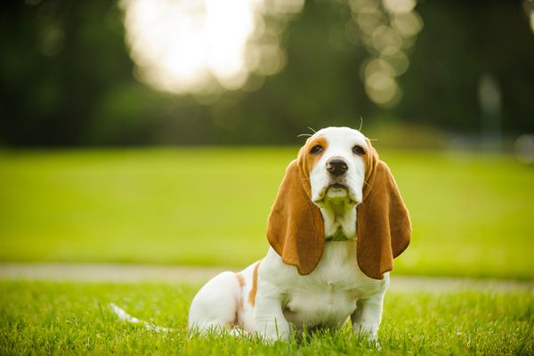 Basset Hound puppy with long ears sitting in grass.