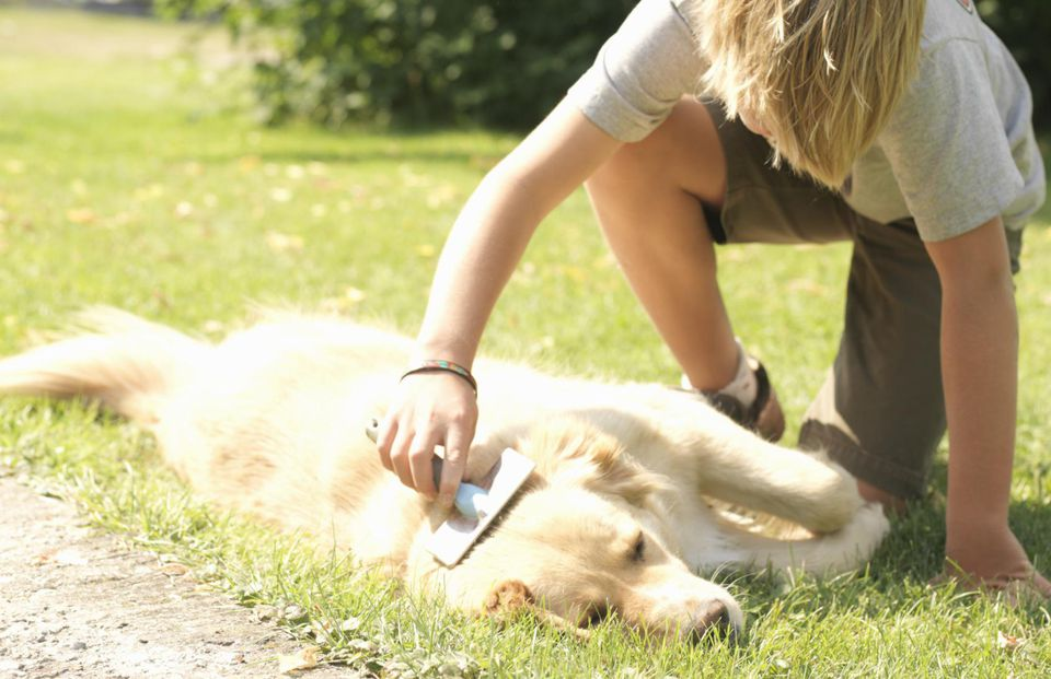 Teenage boy (12-14) grooming golden retriever, outdoors