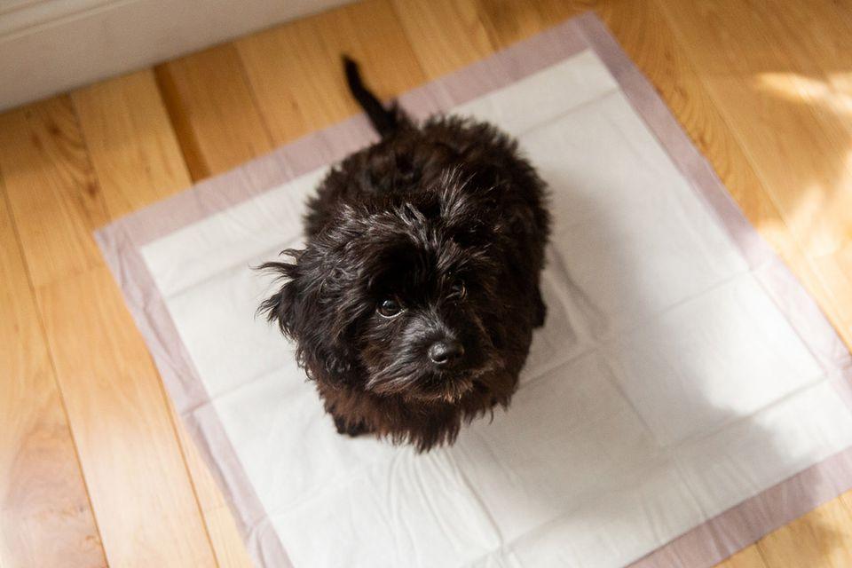 Black puppy sitting on a potty training pad