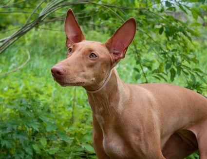 pharaoh hound under branches