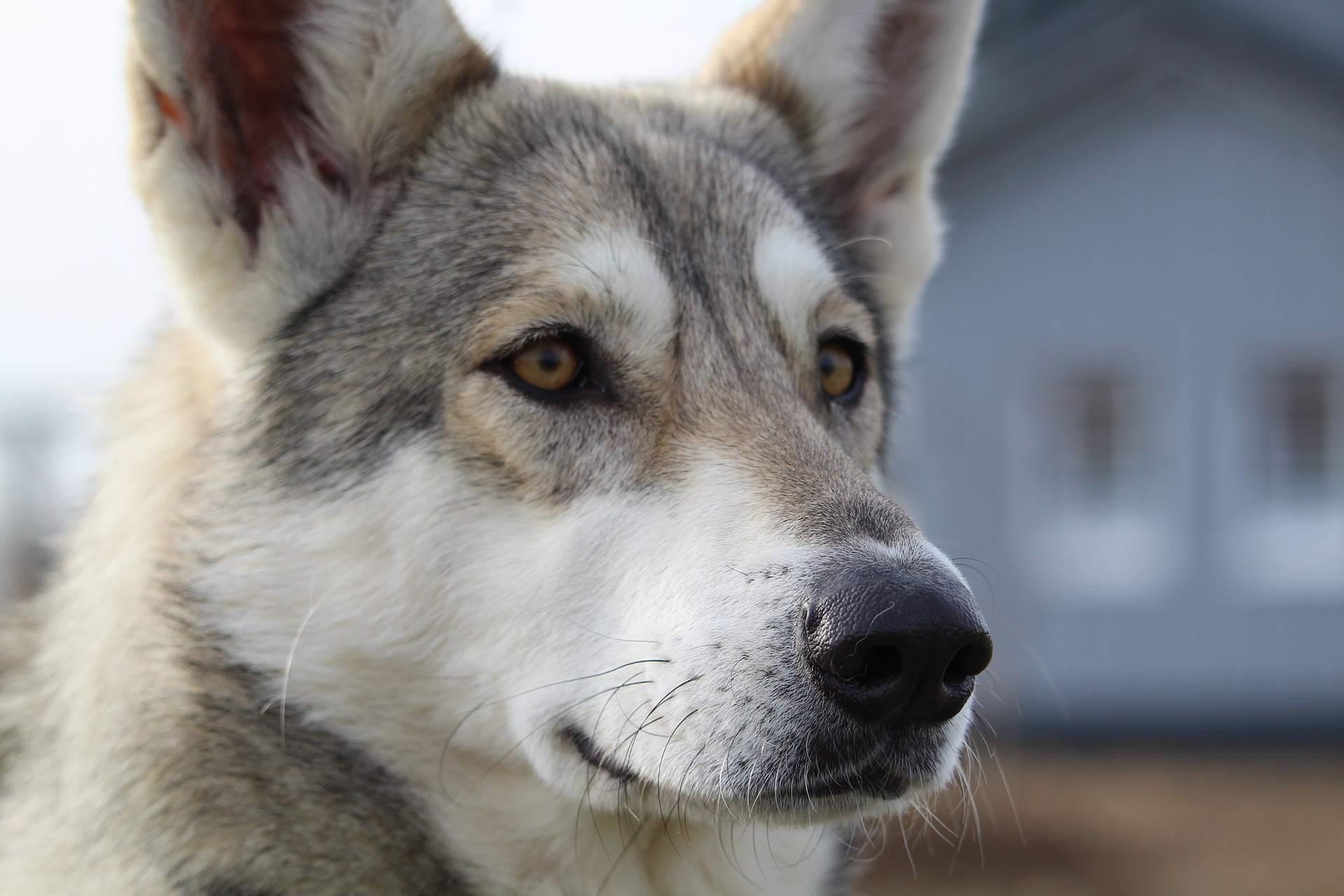 Anjing Wolf