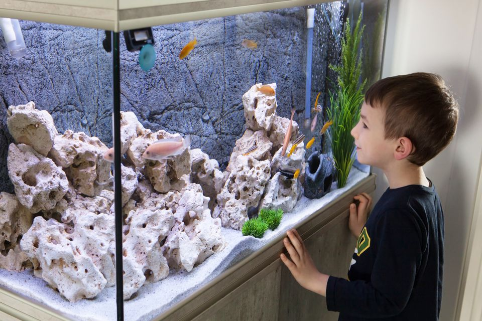 Child watching fish tank. Aquarium with cichlids