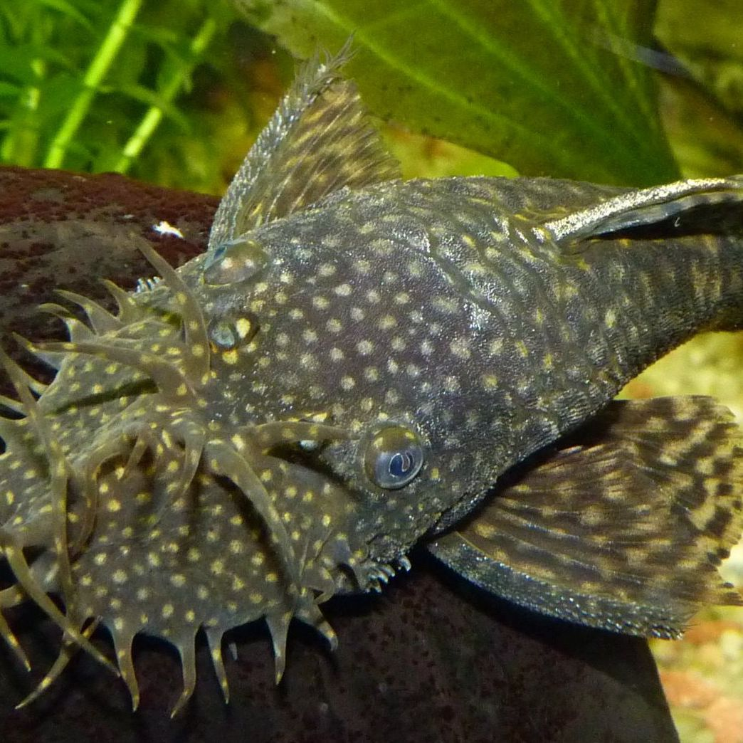 Bristlenose Pleco Fish Species Profile