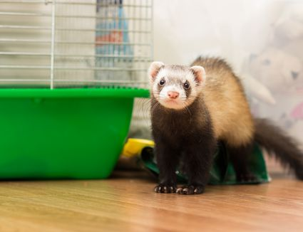 Ferret for 5 months sits on the floor near its cage