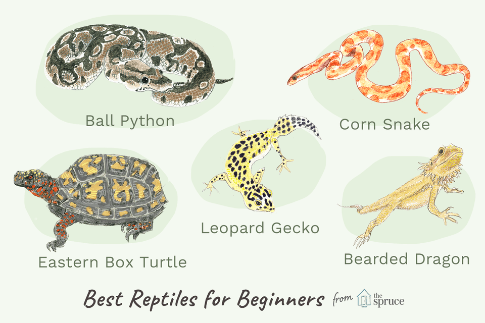 Illustration of best reptiles for beginners