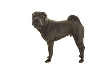 Adult Shar Pei Dog