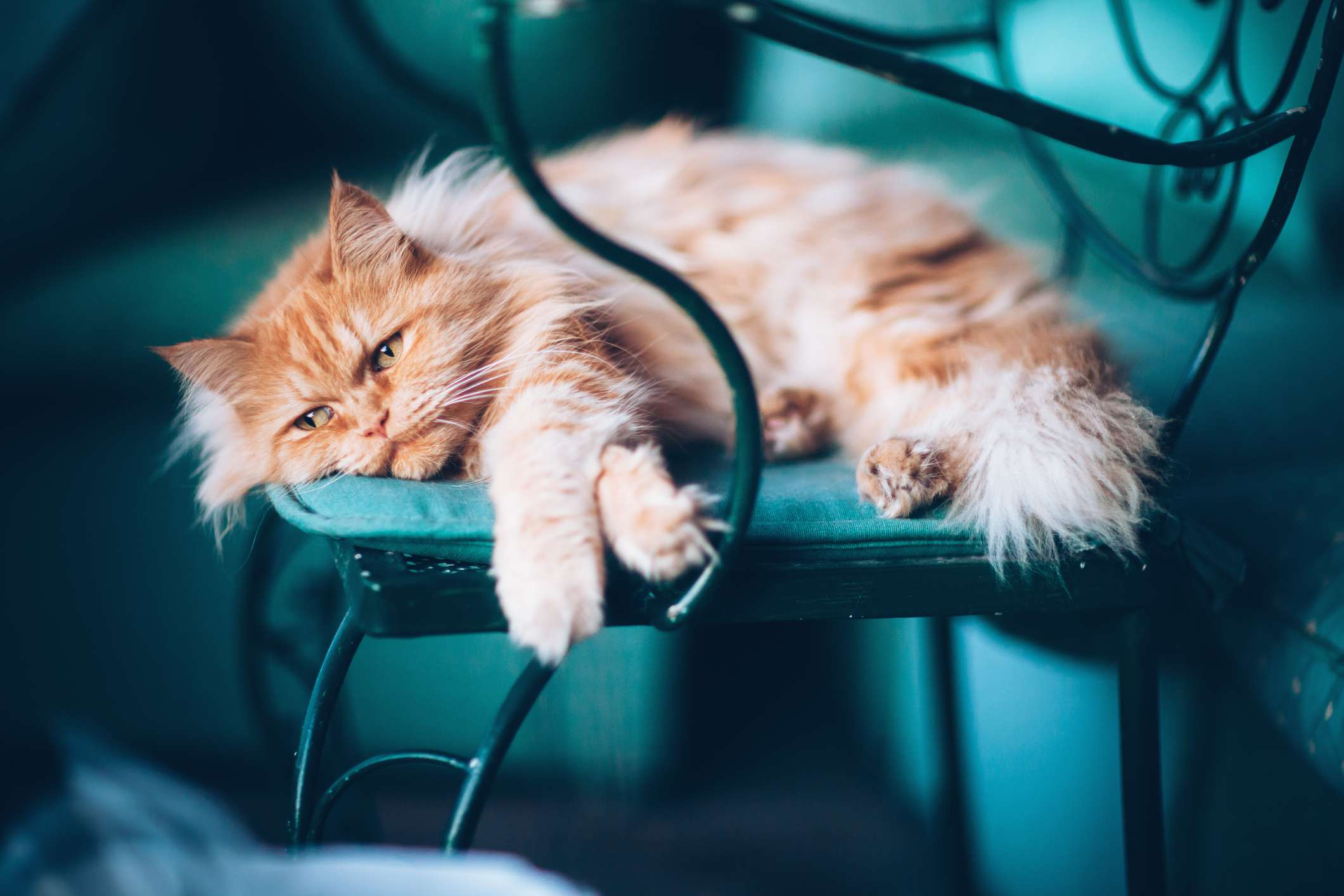 Jengibre gato persa en el asiento
