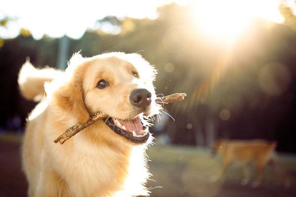 A golden retriever with a stick.