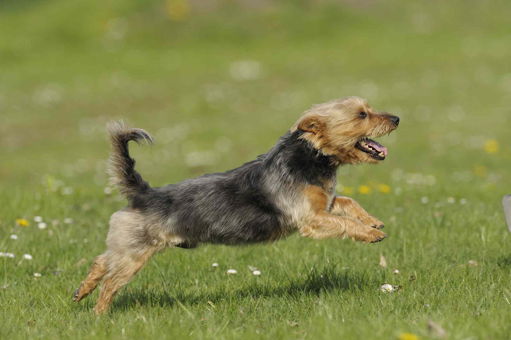 A blue and tan colored Australian Terrier