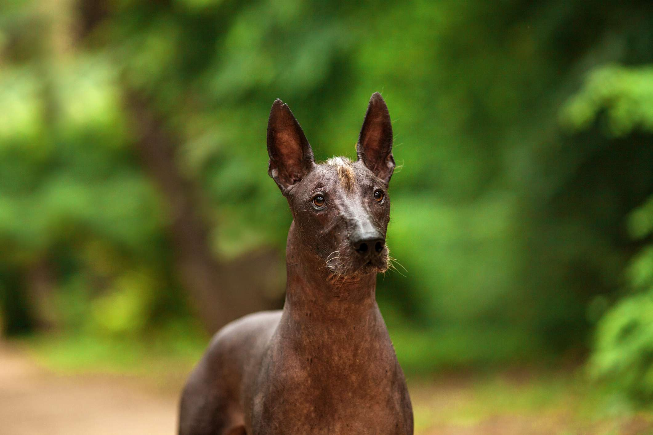 Mexican Hairless Dog by thevetscare.com