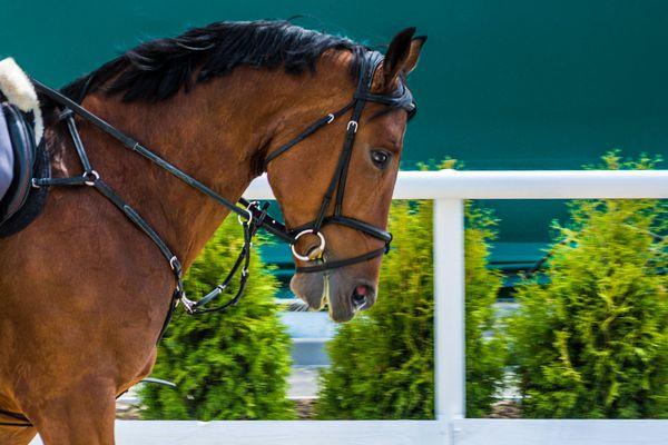 Dressage: portrait of bay horse on nature background.