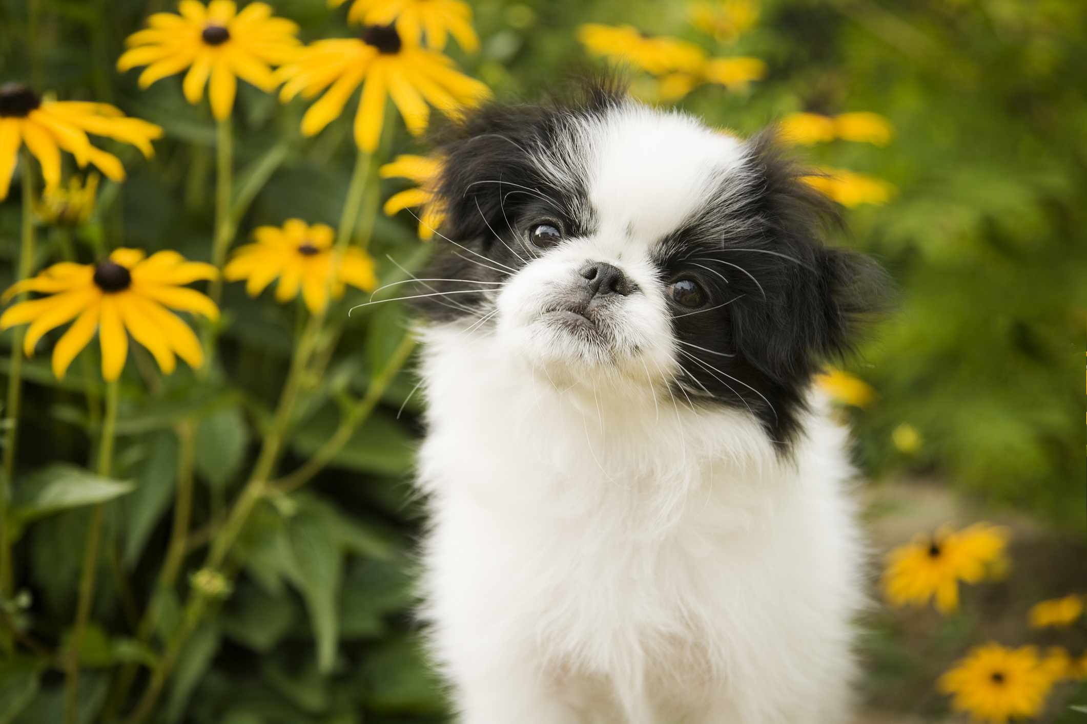 Japanese Chin puppy in garden by yellow daisies.