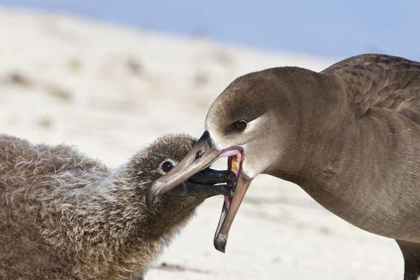 Black-footed albatross regurgitating food