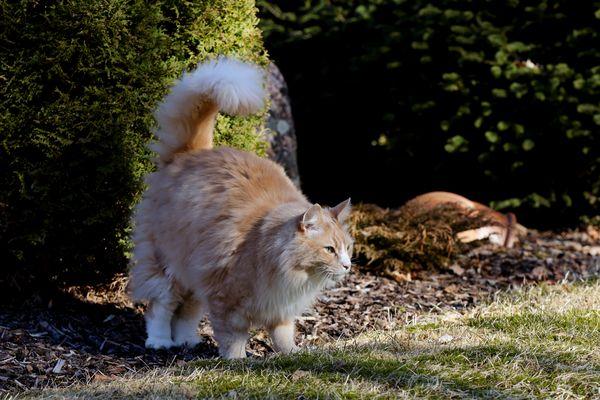 Cat spraying a bush outside.