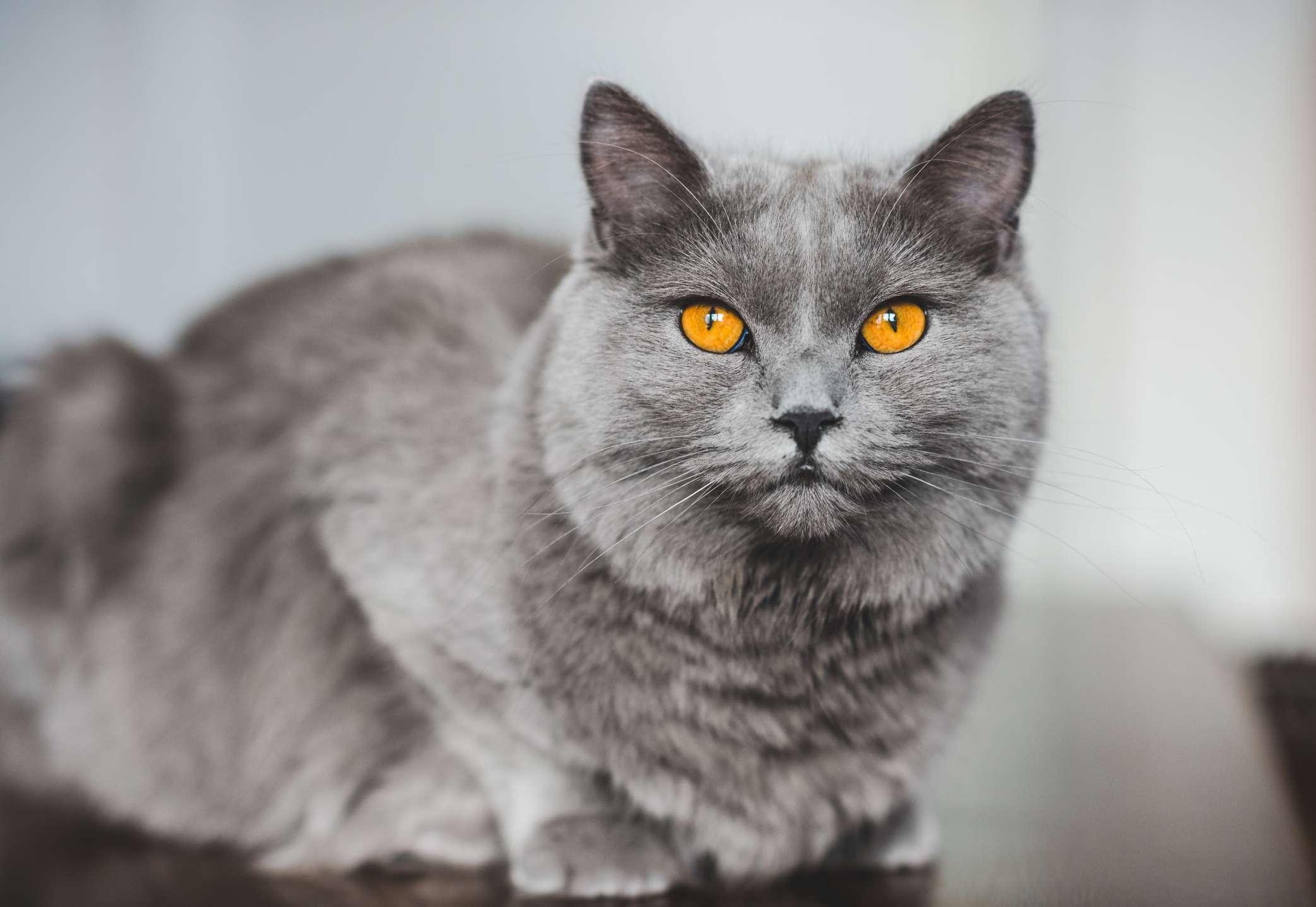 Chartreux cat with blue coat