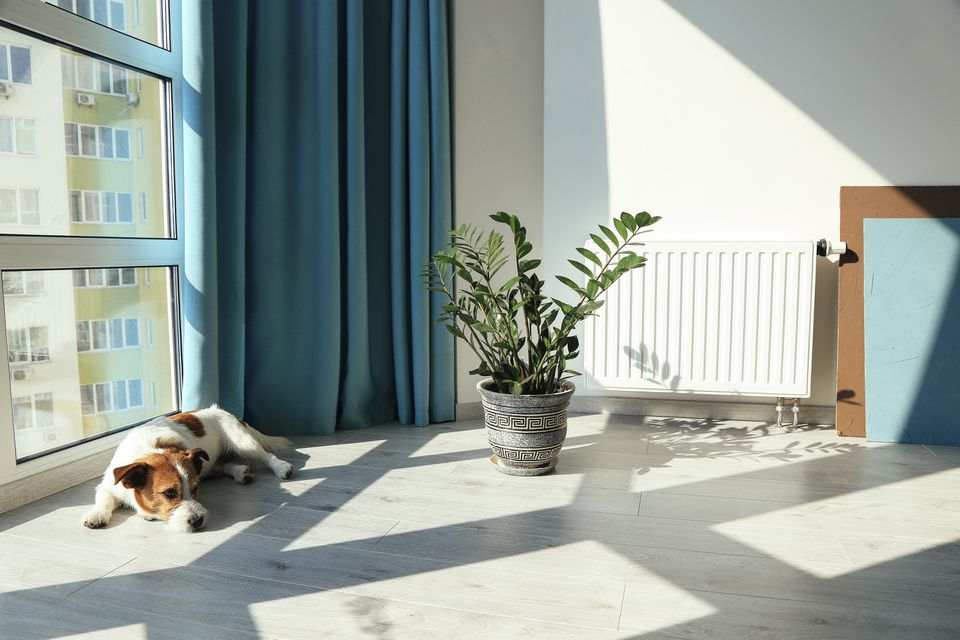 Good indoor climate concept. Dog lying on the floor next to the plant