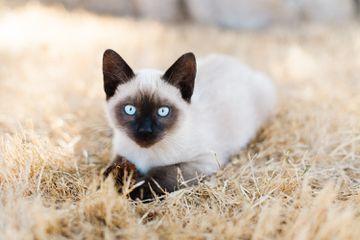 longest living cat breeds
