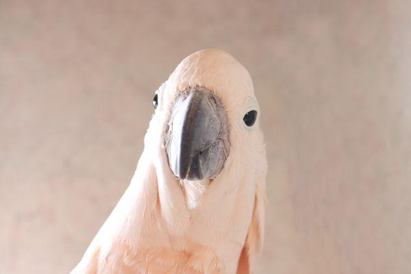 White cockatoo head with gray beak closeup