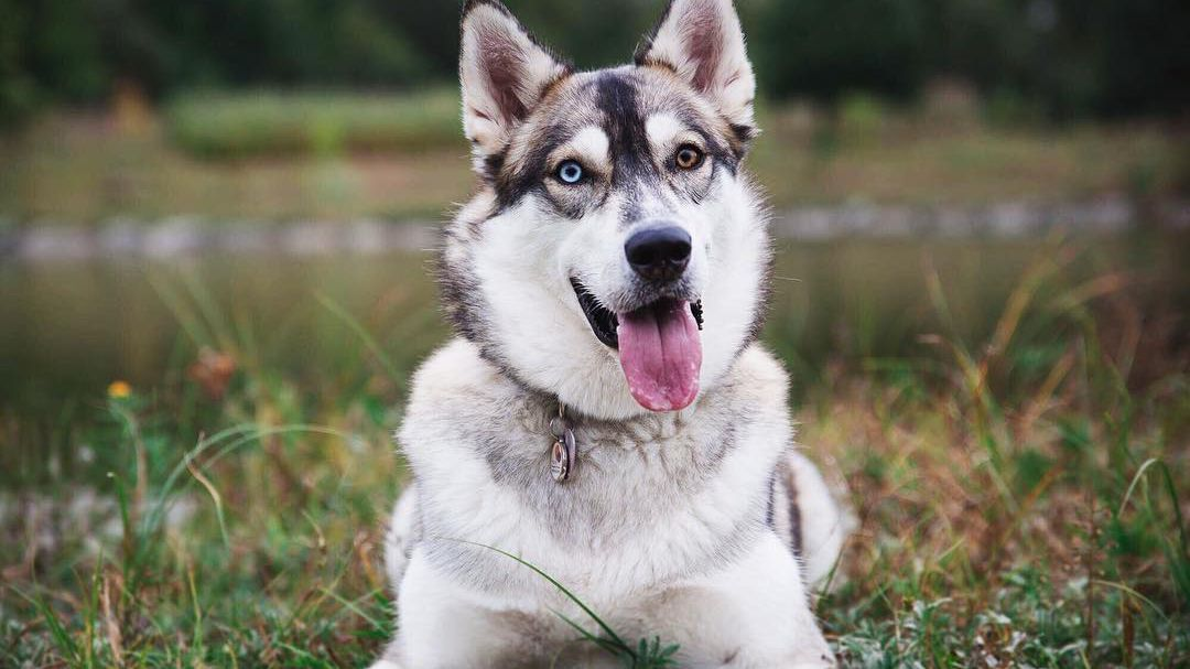 8 Amazing Facts About Siberian Huskies