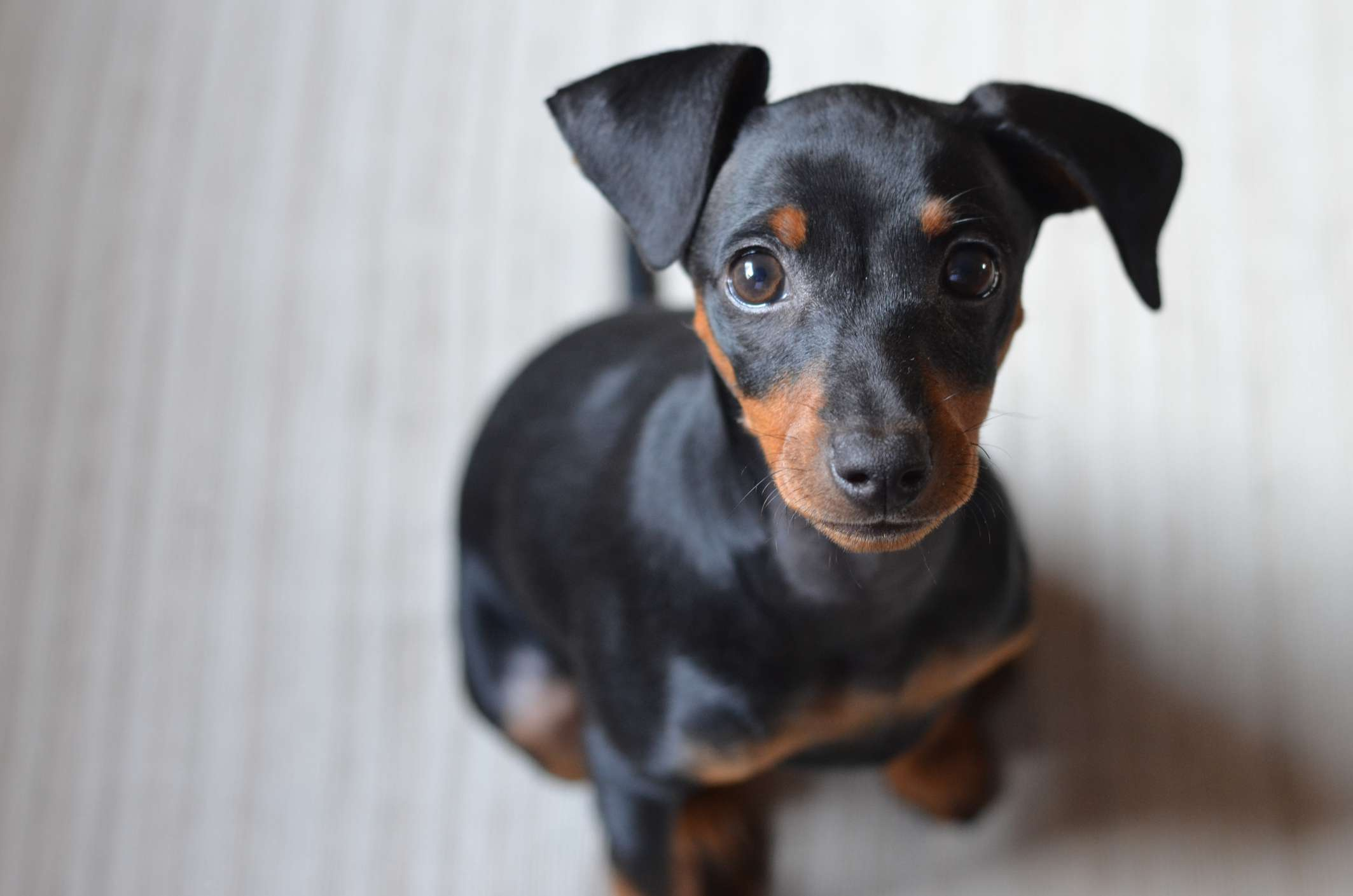 German pinscher puppy portrait