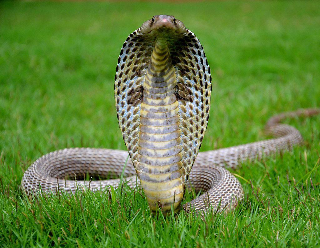 Cobra majestuosa que se levanta de la hierba