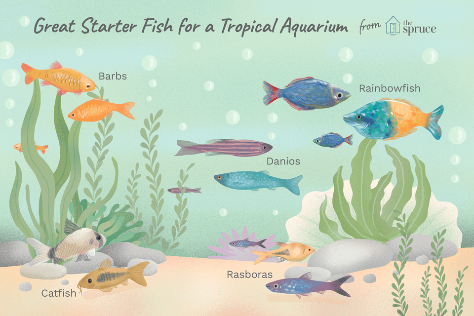 An illustration of good starter fish for an aquarium