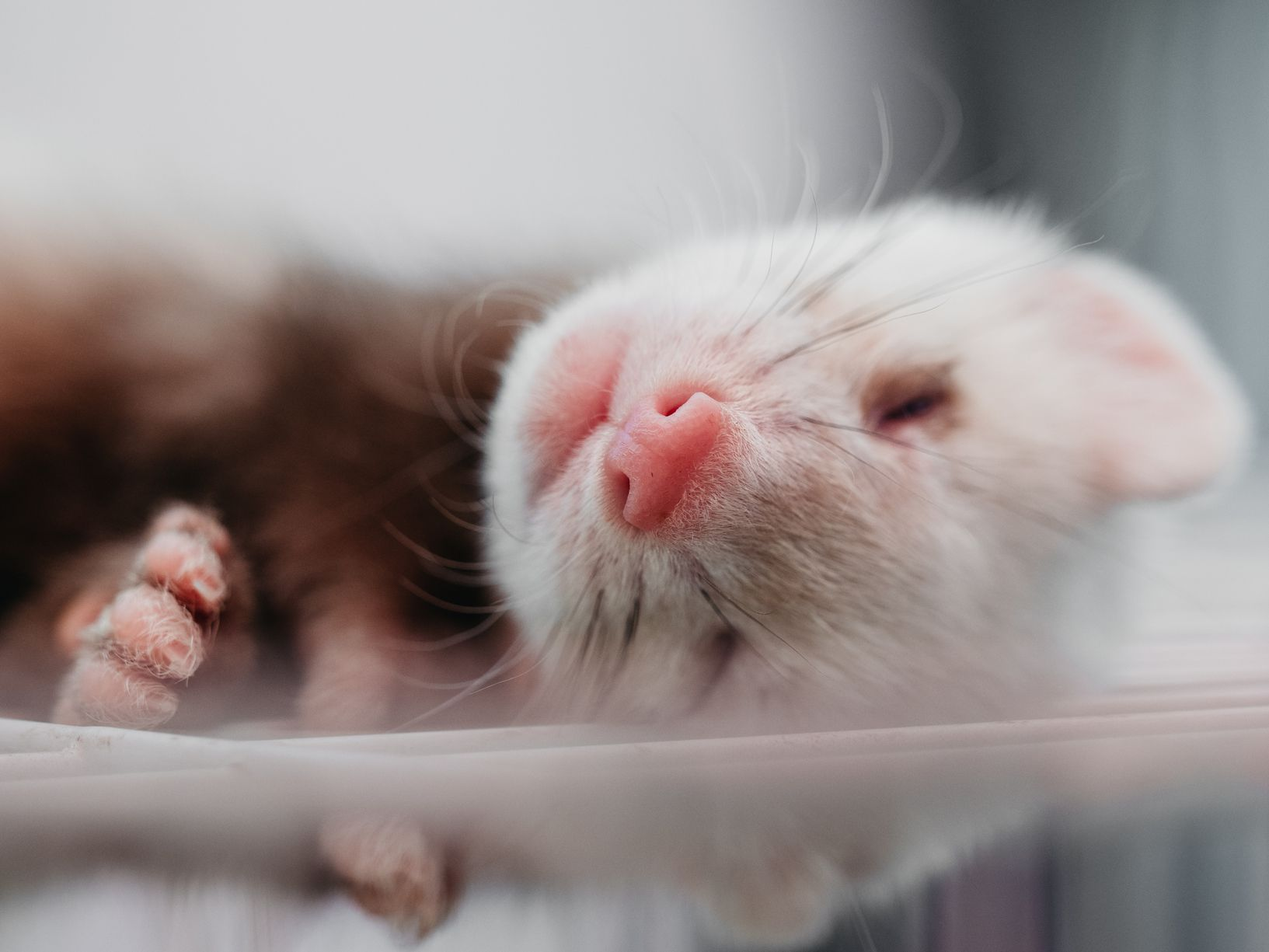 The Top 10 Reasons To Have A Pet Ferret