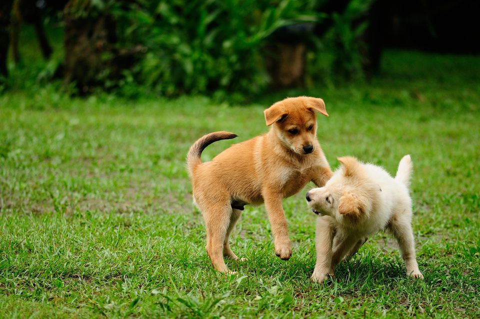 puppies play fighting