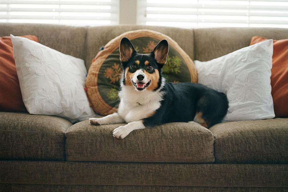 Un sonriente perro Welsh Corgi se relaja en un sofá en el interior a la suave luz de la mañana.