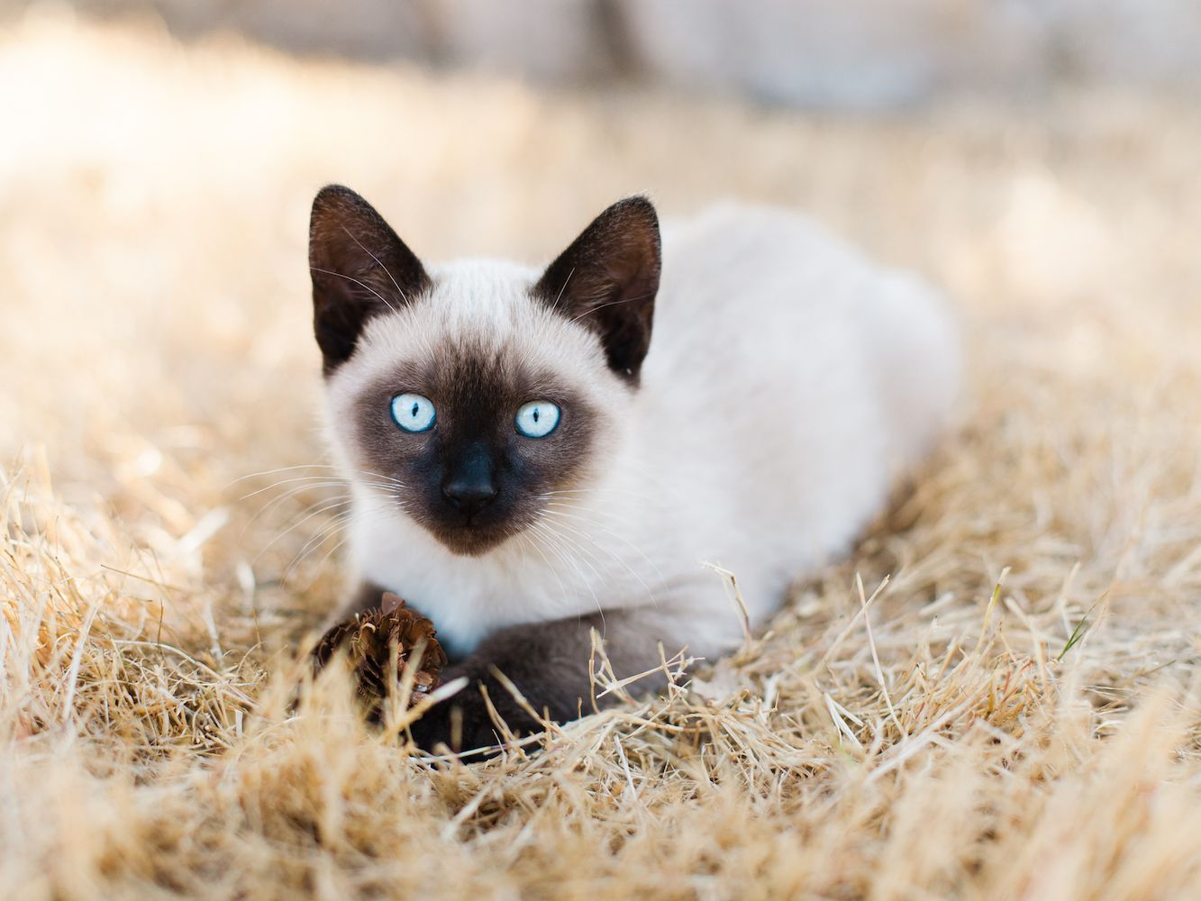 The Best Cat Breeds With The Longest Lifespans