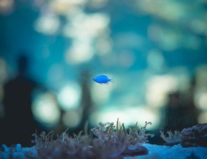 Blue fish swimming in an aquarium