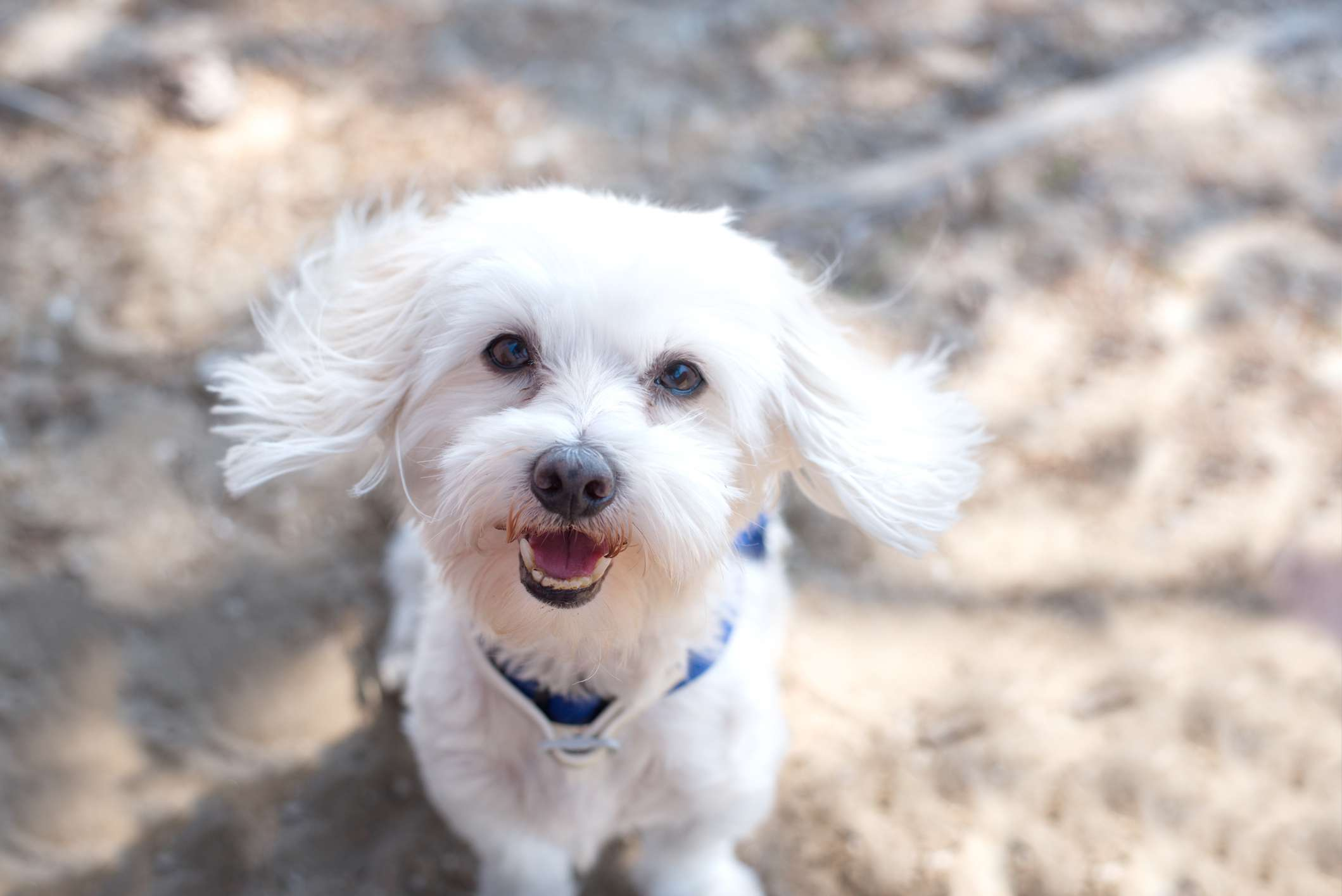 Maltese in blue collar looking up at camera and smiling.