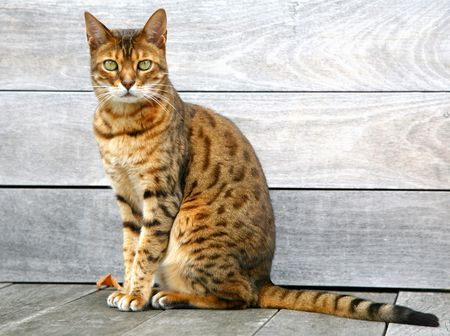 Bengal Cat Sitting On Weathered Deck