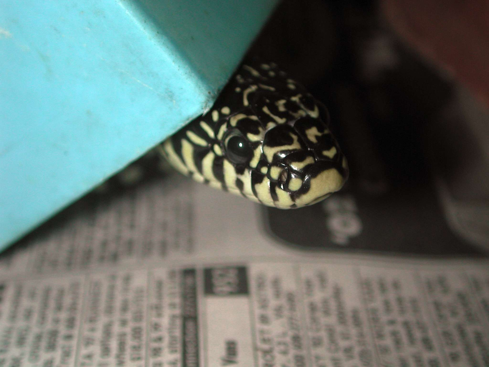 Speckled kingsnake on newspaper